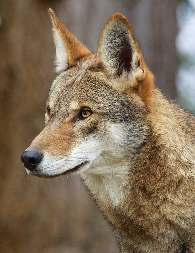 Red Wolves, Like the Ones at Salisbury Zoo, Need Your Help