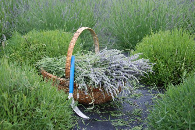 'Lucky in Lavender' – Blue Skye Lavender Farm in Virginia
