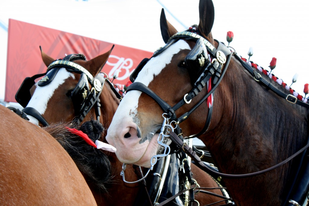 Festival Goers Sing Happy Birthday to Clydesdales' Driver