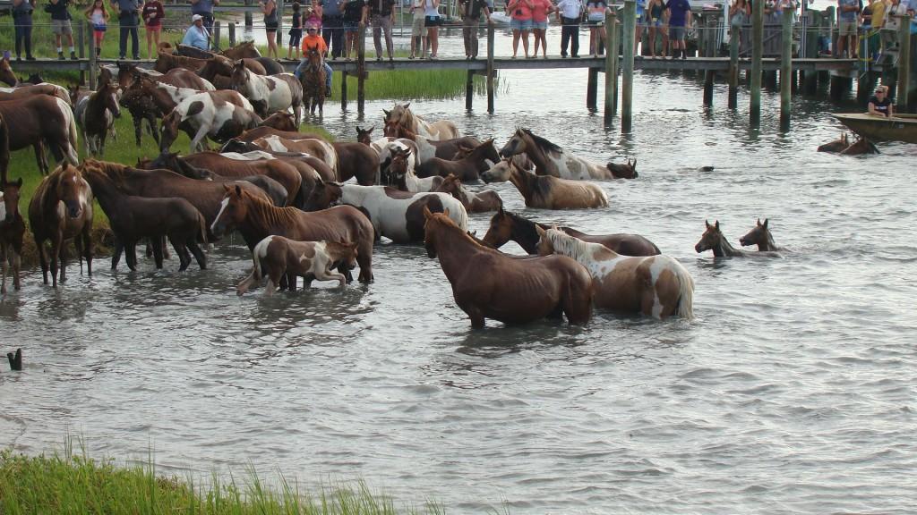 Chincoteague Hosts 90th Annual Pony Swim