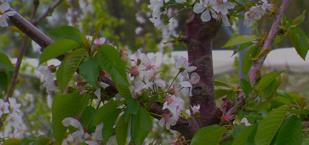 Travels With Charlie: Hopes for Cherry Festivals on Delmarva