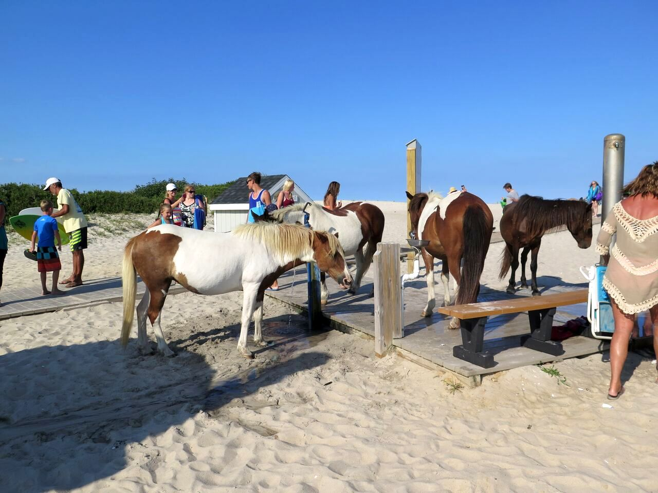 Assateague Lifeguard Gets Kicked in Head by Wild Horse