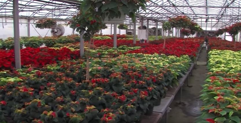 Holiday Plants at Lakeside Greenhouses – Tuesday, Nov. 17, 2015