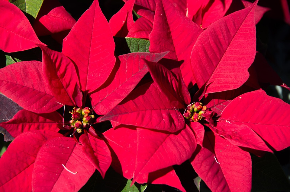 """""""Poinsettia Pointers"""" with Ginny – Friday, December 11, 2015"""
