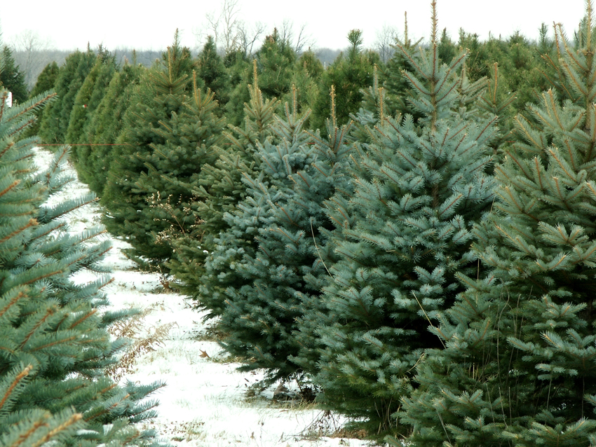 Delaware Continues Christmas Tree Recycling Tradition