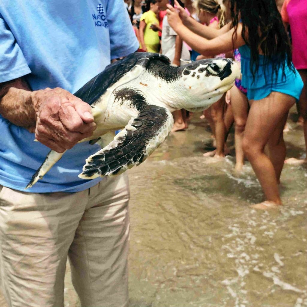 Be On the Look Out for Cold-Stunned Sea Turtles- Lewes, Delaware