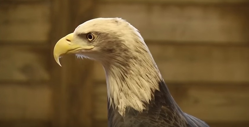 Lead Poisoning in Eagles from Hunting