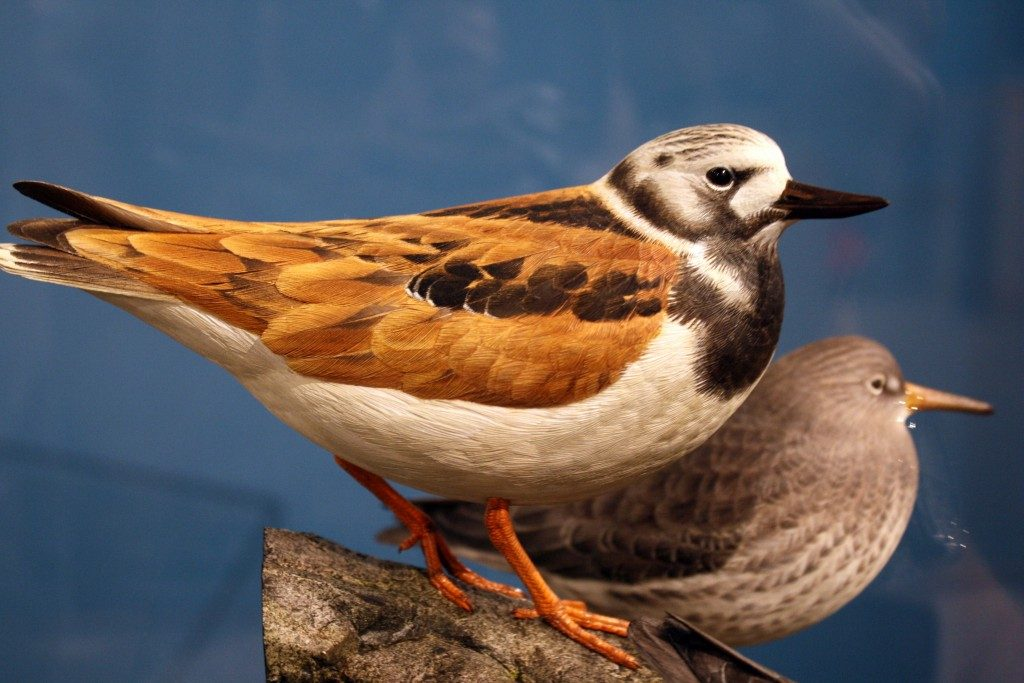 Ward Museum Holds 19th Annual Wildfowl Expo, Oct. 8