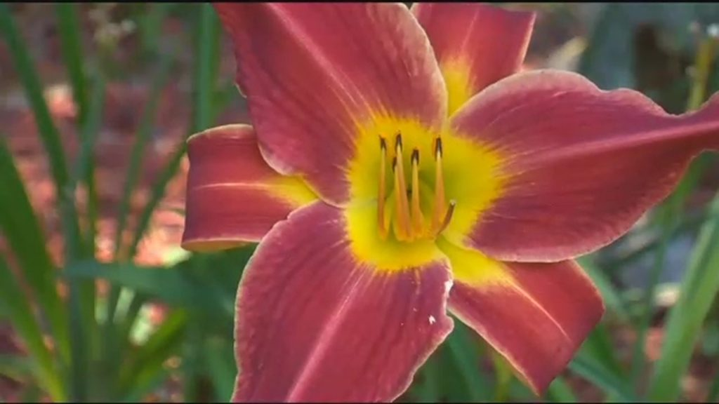 Travels With Charlie: Secret of the Daylily