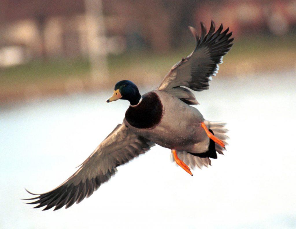 Delaware Waterfowl Hunting Seasons Reopen Nov. 21-26