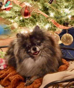 Rocky's first Christmas, by Darlene Wheatley who adopted Rocky after he was seized from a suspected puppy mill in Eden, Maryland.