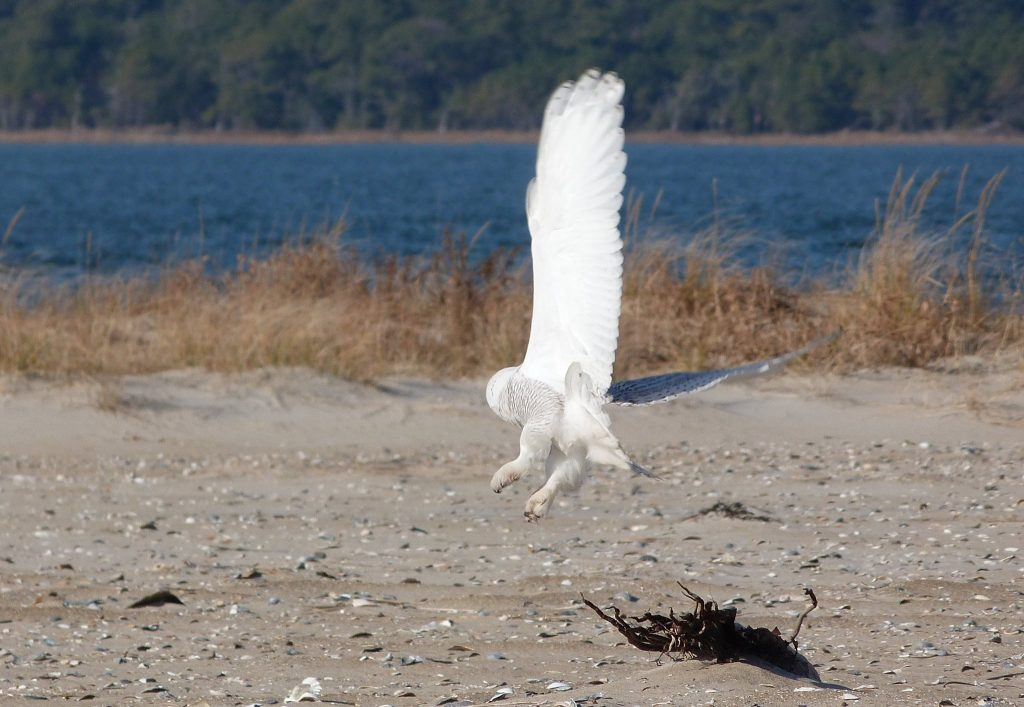 Snowy Owl Sighting at Chincoteague National Wildlife Refuge, What You Need to Know