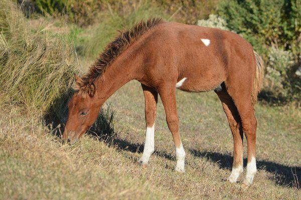 Assateague Foals Welcomed into Foster Horse Program
