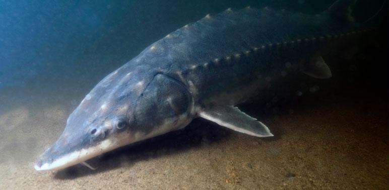 Feds Setting up Designated Habitat for Endangered Sturgeon