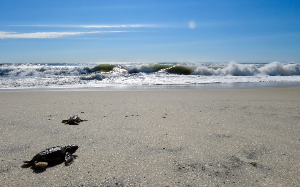First Confirmed Sea Turtle Nest Hatches on Assateague Island National Seashore