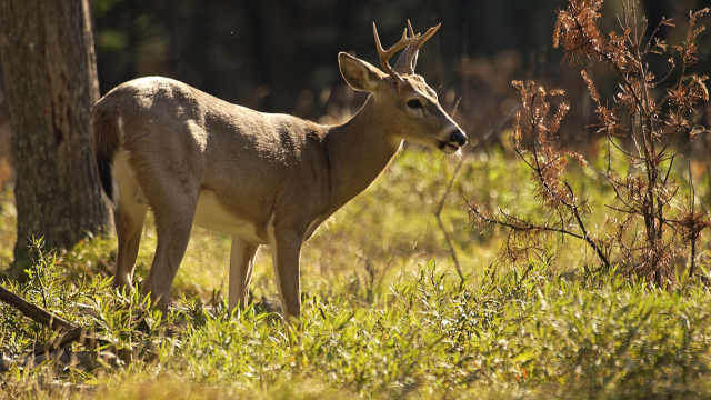 22,000 Deer Harvested in Maryland During Early Season