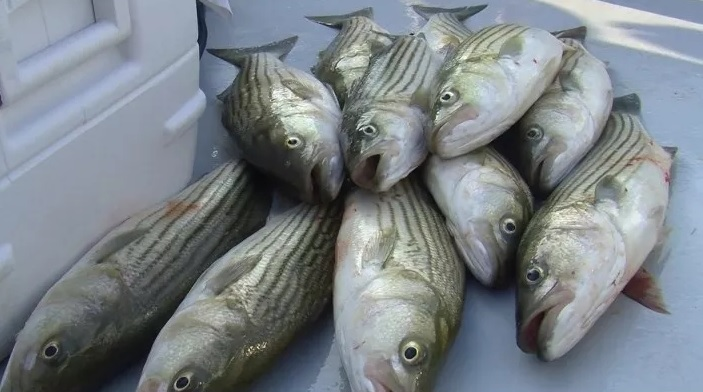 Revised Regulations Seek to Reduce Minimum Size Requirement for Striped Bass in Md.
