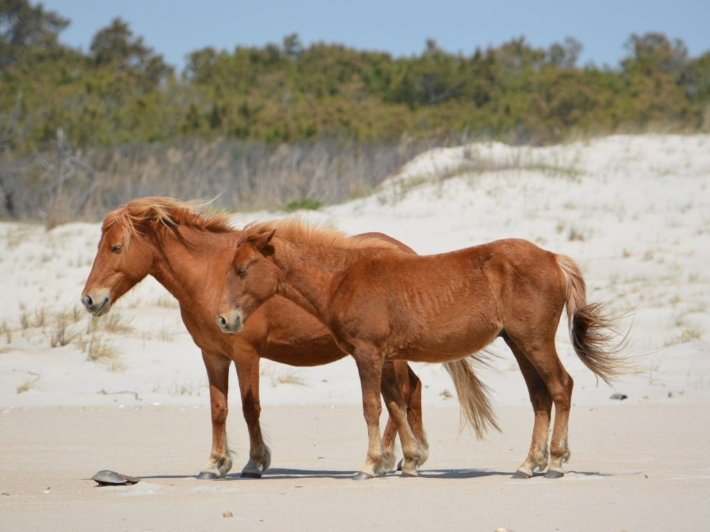 Assateague Island Horse Census Results Released