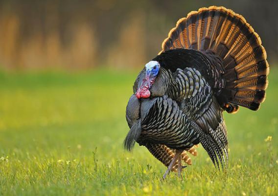 Wild Turkey Hunters in Delaware Harvested 571 Birds in 2018
