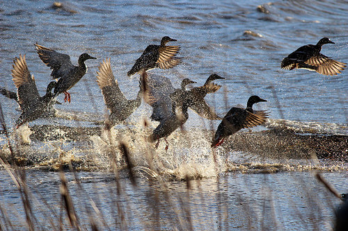 Md. DNR Announces Waterfowl Blind Site Licensing Dates and Locations