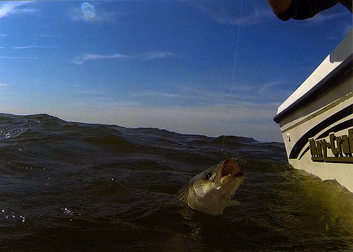 Anglers Urged to Help Protect Maryland's State Fish