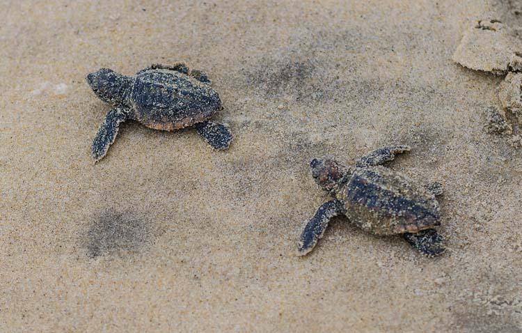 48 Loggerhead Sea Turtles Hatch at Fenwick Island State Park