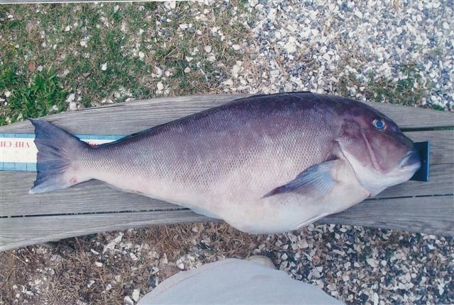 Quota Bump for an Economically Important East Coast Fish