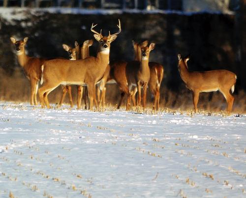 DRR Says Survey Shows Marylanders Support Deer Hunting