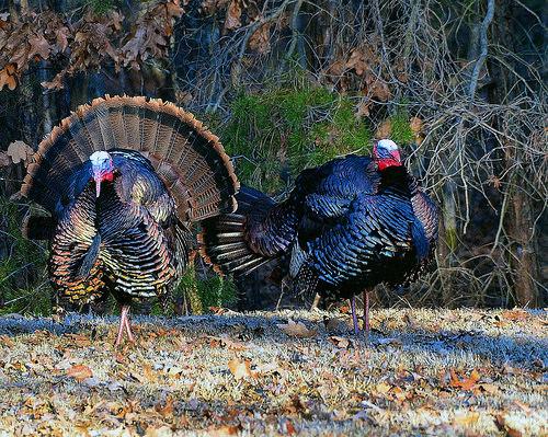 Md. Winter Turkey Season Opens Jan. 17
