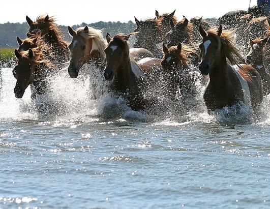 Pony Penning Update