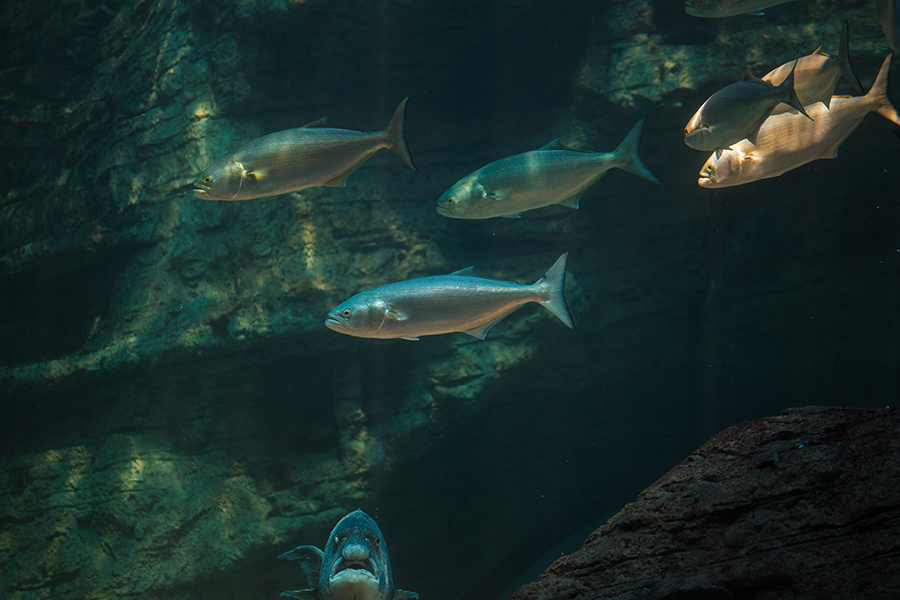 NOAA Maintains East Coast Bluefish Catch Rules for This Year