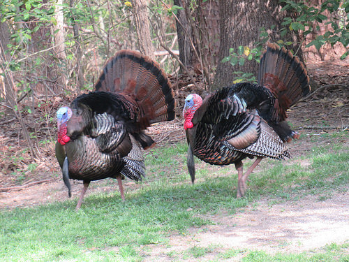 Statewide Spring Turkey Season Set to Open in Md.