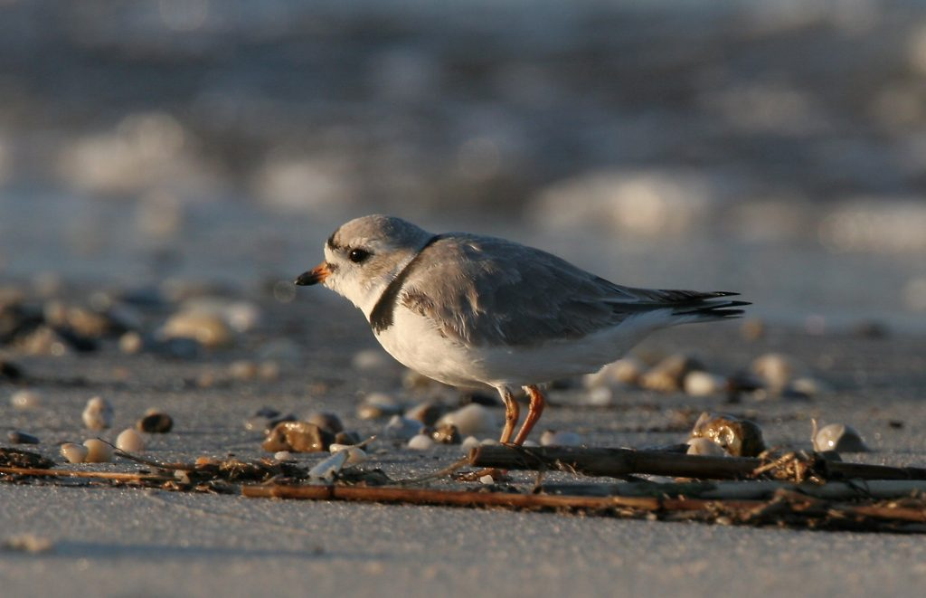 DNREC Schedules Training in Lewes for Volunteer Beachnesting Bird Monitors