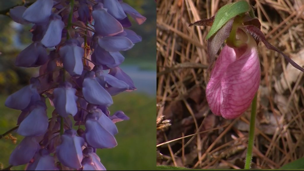 Travels With Charlie: Two Flowers That Bloom in the Spring