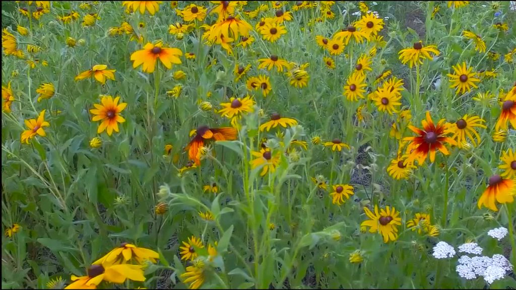 Travels With Charlie: Not So Wild Wildflowers