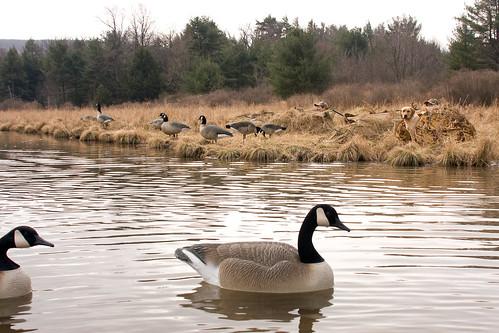 Md. Atlantic Population Canada Goose Season Begins Dec. 20