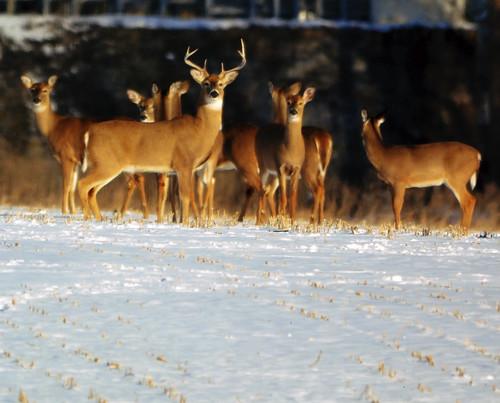 Md. Muzzleloader Season for Deer Reopens Dec. 21