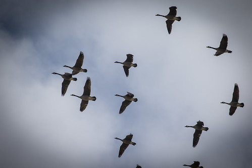 Md. Midwinter Waterfowl Survey Shows Rise in Bird Count