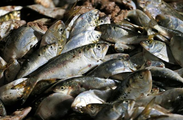 Virginia Avoids Ban on Catching Fish Used to Make Fish Oil