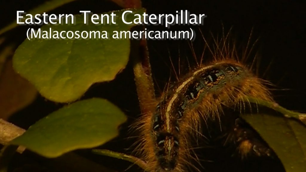 Travels With Charlie: Eastern Tent Caterpillars