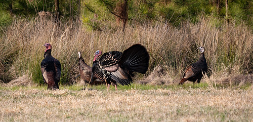 Spring Hunters in Md. Harvest a Record 4,303 Wild Turkeys