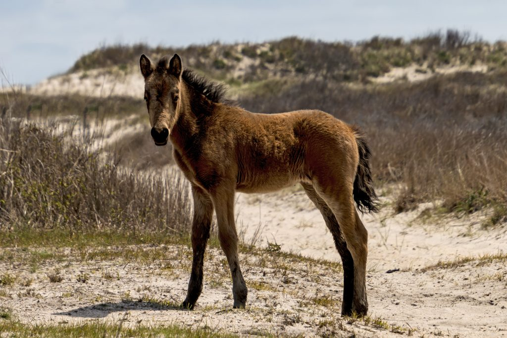 Passion for Ponies: Local Photographer Captures The Essence of Chincoteague