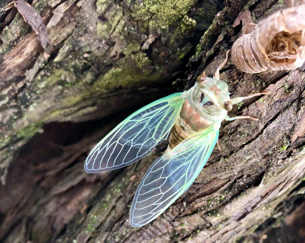 Carrie's Cicadas