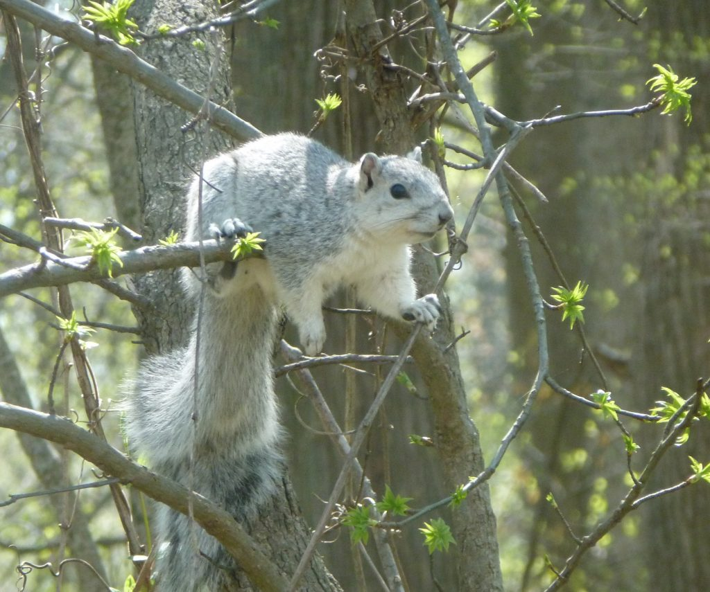 Once Endangered, Now Recovered: The Delmarva Fox Squirrel