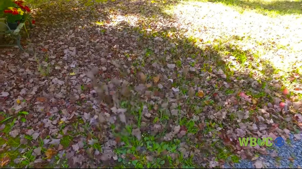 Travels With Charlie: Blowhard, or, Leaves in the Fall