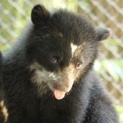 Sinchi, The Andean Bear Cub, Turns 1!