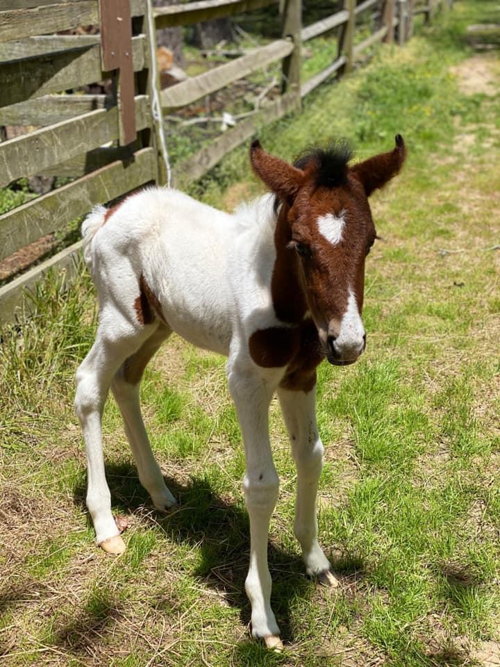 Wellness Check – Chincoteague Ponies