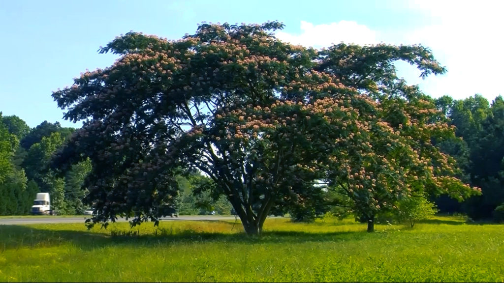 Travels With Charlie: Mimosa Tree