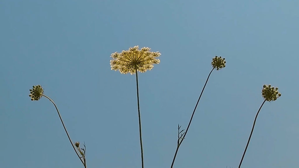 Travels With Charlie: Queen Anne's Lace