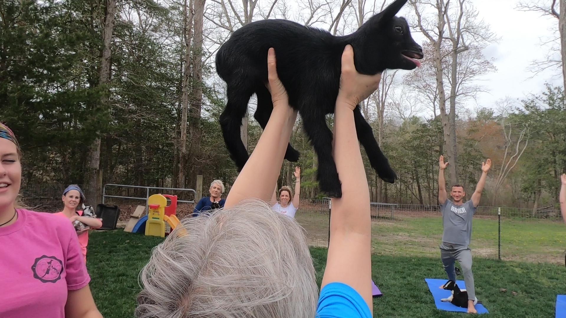 Goat Yoga! WBOC Sports' Jose Cuevas takes a Look at the Growing Phenomenon